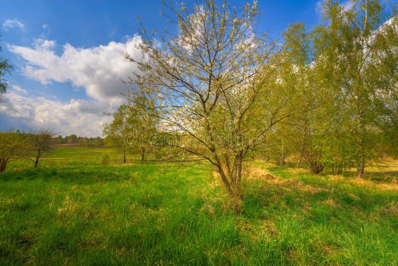 在国家领域的春天树 库存图片