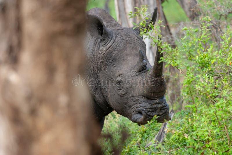 在国立公园kruger南非的Rhinocerosanimals 免版税库存照片