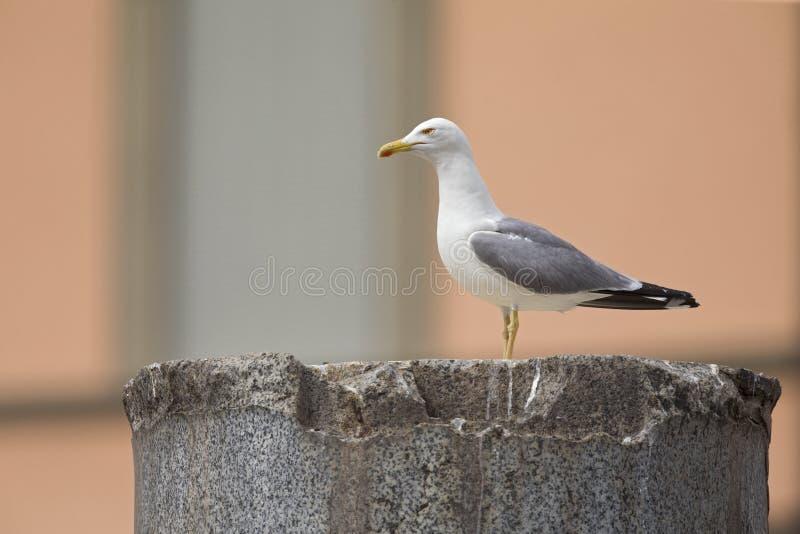 在图拉真广场的废墟栖息的一只成人yellow-legged鸥在罗马市中心 库存图片