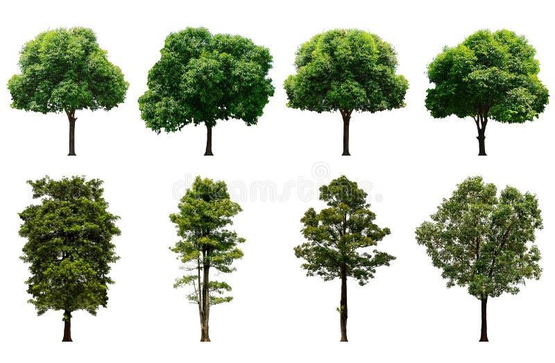 在图表的纯净的白色背景隔绝的美丽的新鲜的绿色落叶树,树的汇集 免版税库存照片