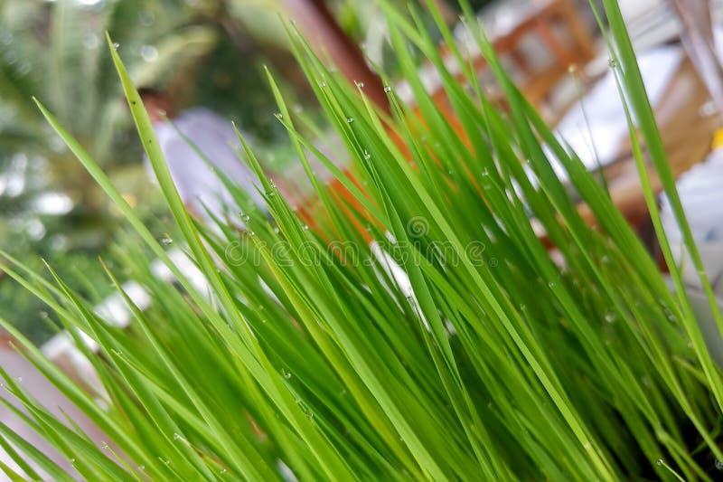 在圆的白色罐的幼木米在木桌上 在碗的活绿色水多的草有雨珠的 库存照片