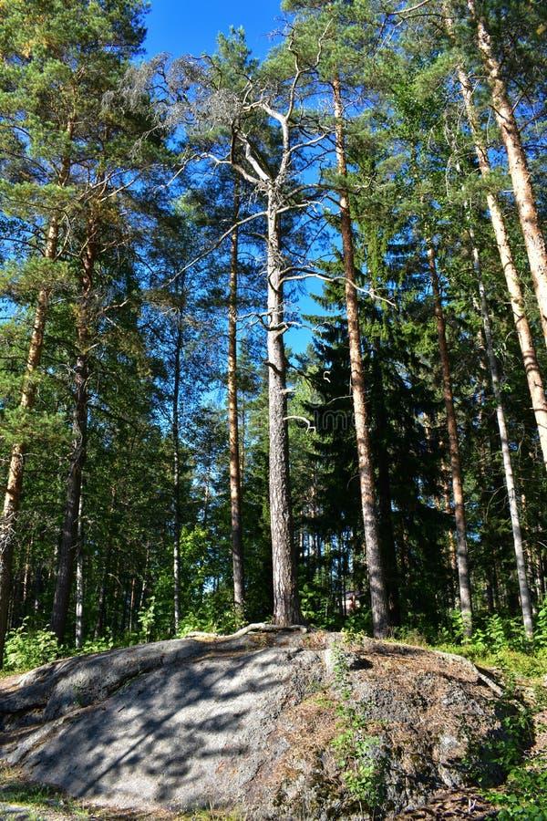 在土地的一个岩石部分增长的松树 库存照片