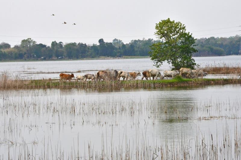 在土坎的母牛群步行横跨湖 免版税库存图片
