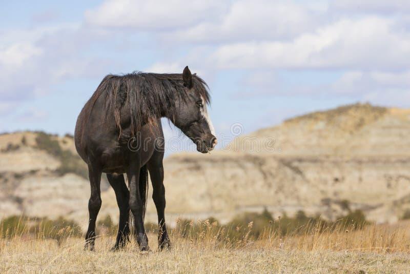 在土坎的野生野马在北达科他 免版税库存图片