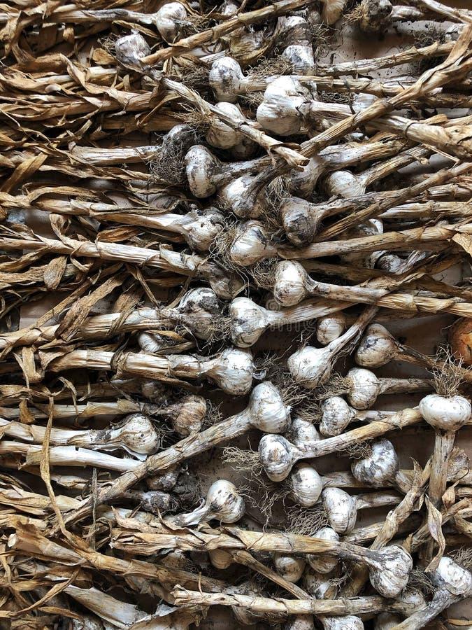 在土壤和土背景的新近地被采摘的大蒜电灯泡 健康食品和有机概念 免版税库存照片