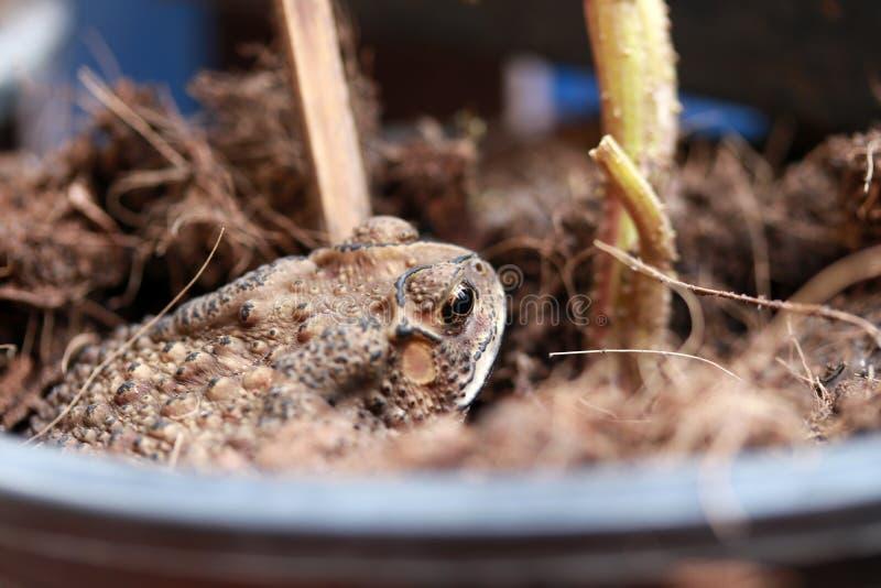 在土壤埋没的蟾蜍 免版税库存图片