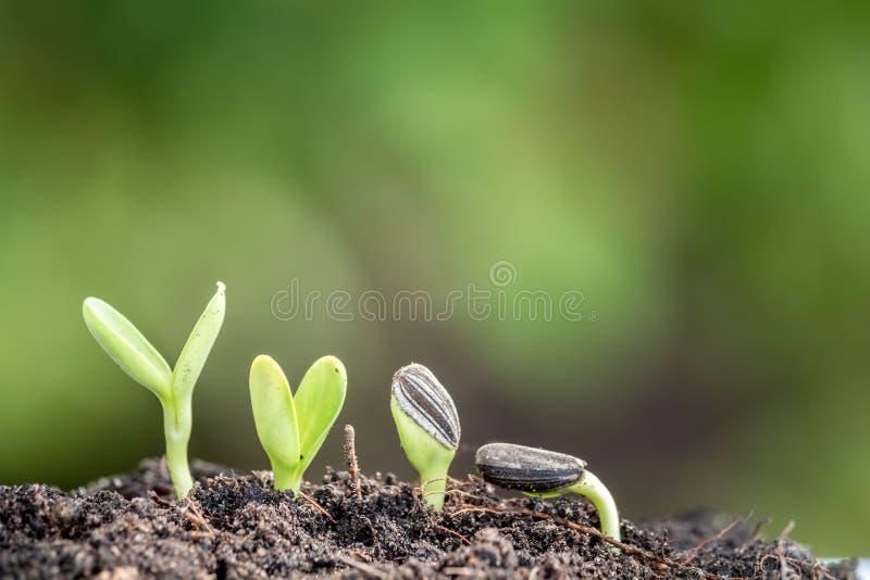 在土壤新的生活开始的种子根 免版税库存照片