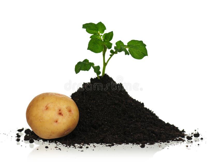 在土壤的土豆 免版税库存照片