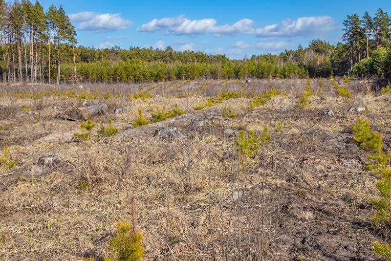 在土壤的年轻杉木树苗,在砍伐森林站点  图库摄影