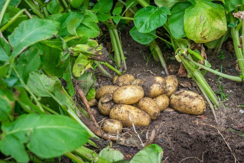 在土壤的新鲜的土豆 免版税库存照片