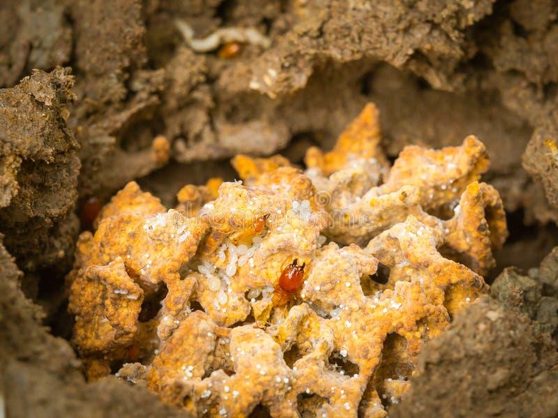 在土壤的白蚁巢 库存照片