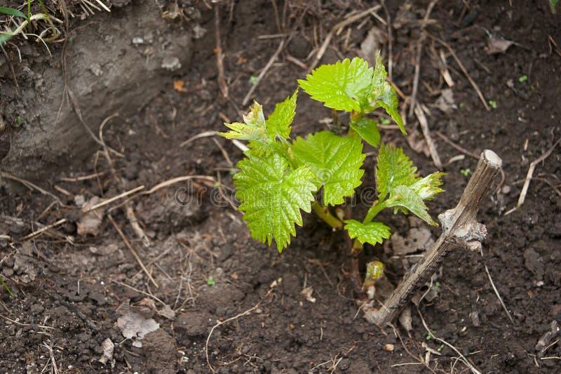 在土壤的年轻葡萄树 免版税库存图片