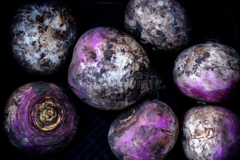 在土壤盖的紫色白萝卜 库存照片