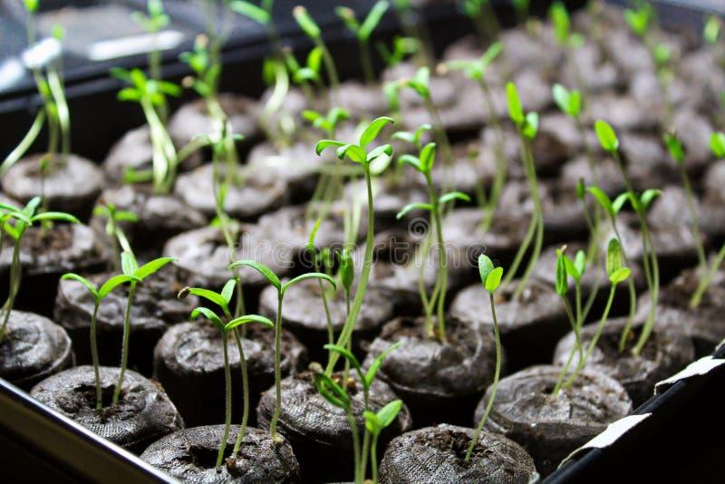 在土壤药丸开始的蕃茄幼木 免版税库存图片