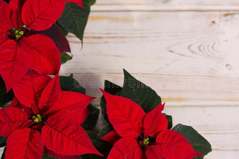 在土气木背景的红色星圣诞节花一品红 库存图片