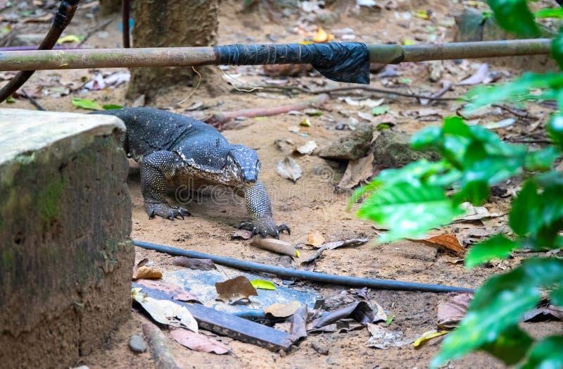 在土气村庄后院的监控蜥蜴  在人的解决附近的南亚动物区系 危险野生动物 免版税库存照片