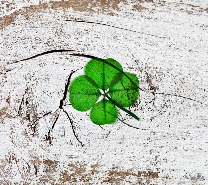 在土气白色木背景的真正的四片叶子三叶草 免版税库存图片