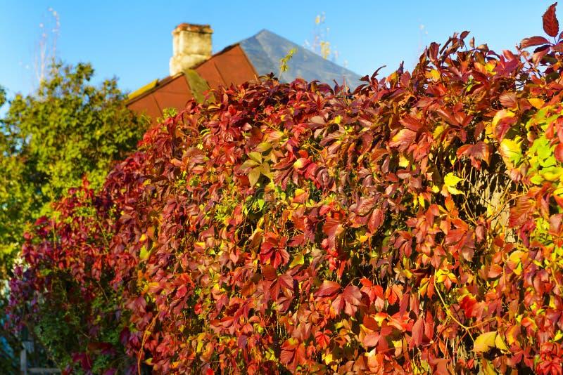 在土气篱芭的红黄色秋天常春藤,晴天 库存图片
