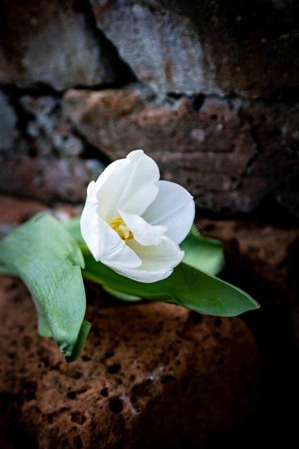 在土气背景的白色郁金香 免版税库存图片