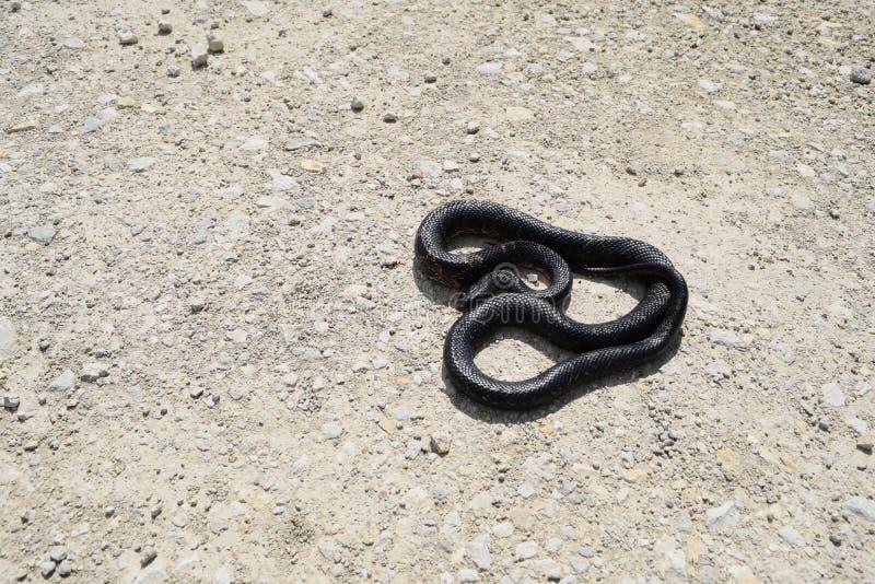 在土路的黑鼠蛇 库存照片