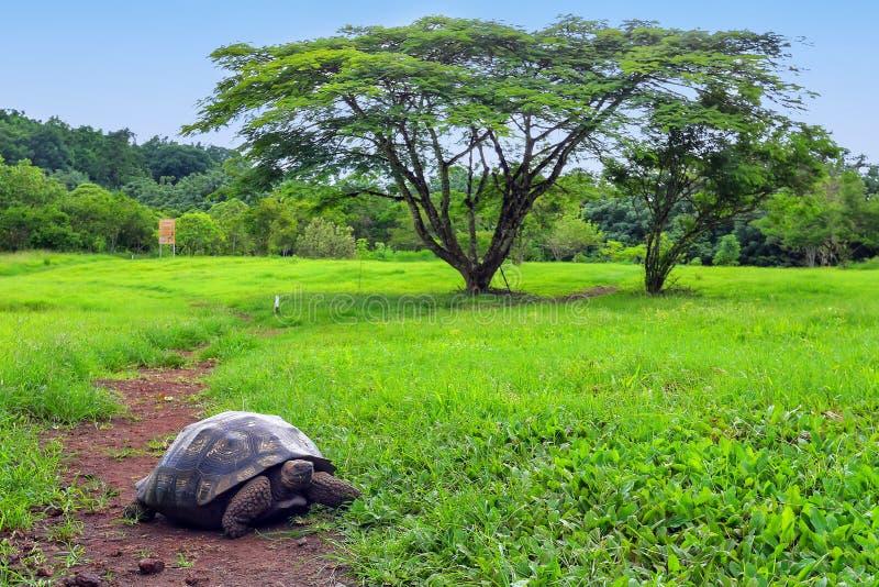 在圣克鲁斯岛的加拉帕戈斯巨型草龟在加拉帕戈斯Natio 免版税库存图片