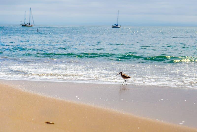 在圣克鲁斯海滩,加利福尼亚的矶鹞 图库摄影