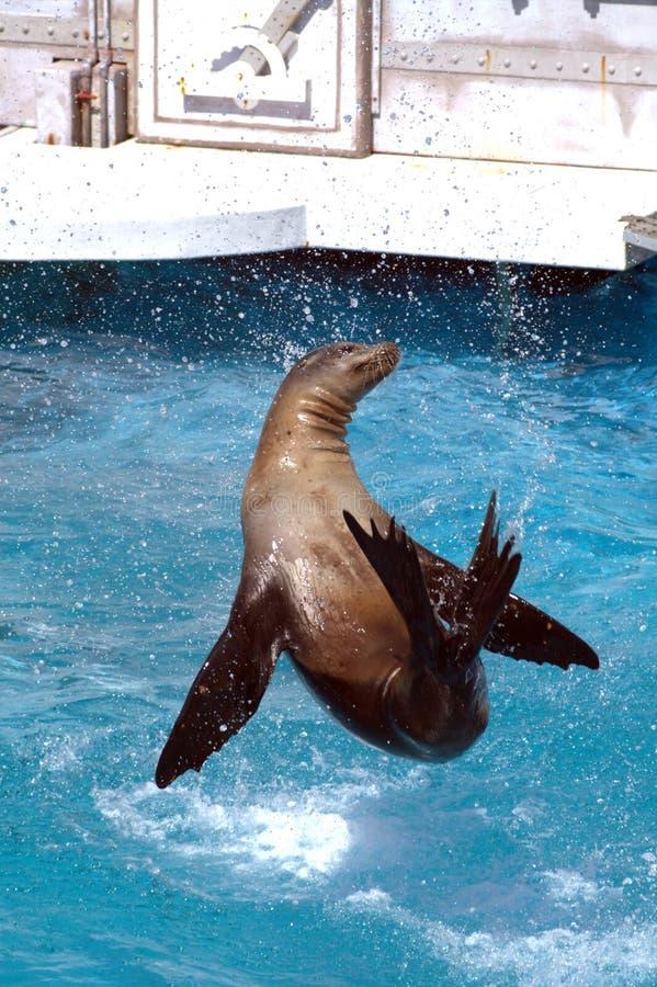 在圣地亚哥水马戏的海狗  库存照片