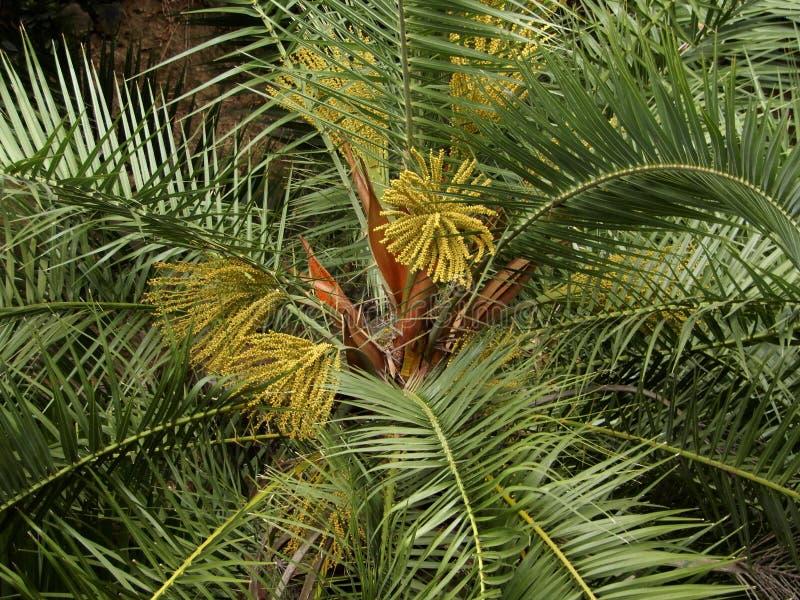 在圣地米格尔,亚速尔,葡萄牙小岛的棕榈开花  免版税库存图片