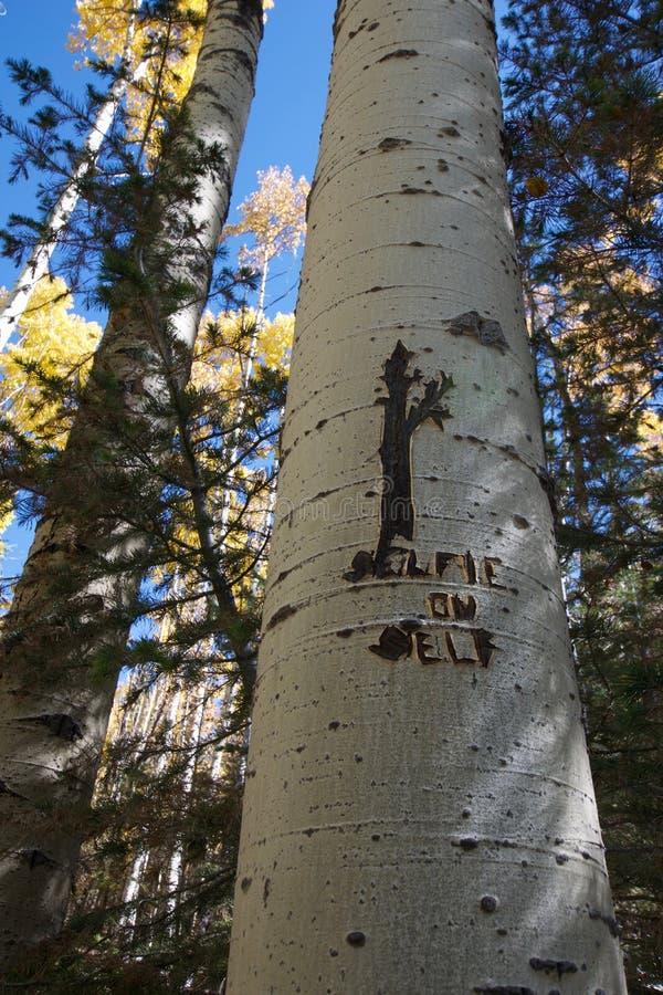 在圣塔菲新墨西哥附近的黄色亚斯本树 免版税库存照片
