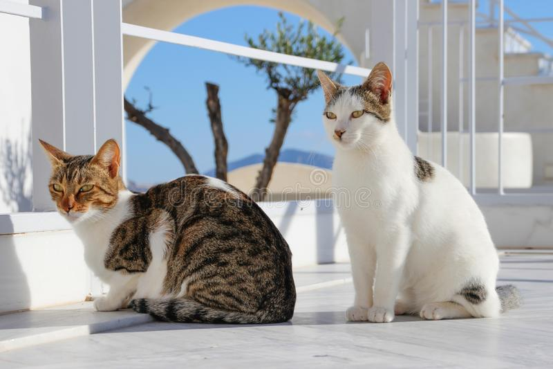 在圣托里尼海岛上的两只猫  Fira,希腊 库存图片