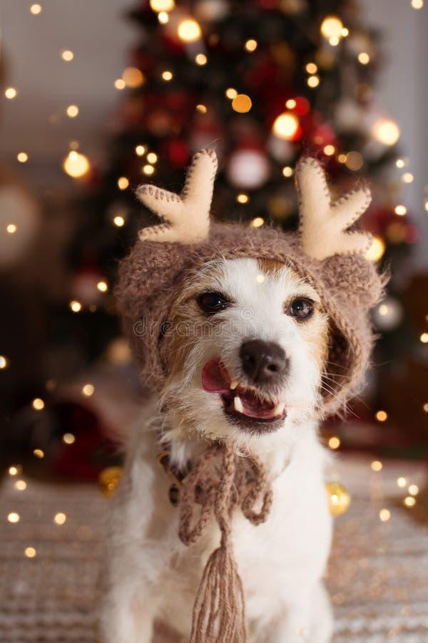 在圣诞树光下的杰克罗素狗庆祝假日和做一张滑稽的面孔的,连接舌头出口,佩带驯鹿 免版税库存图片