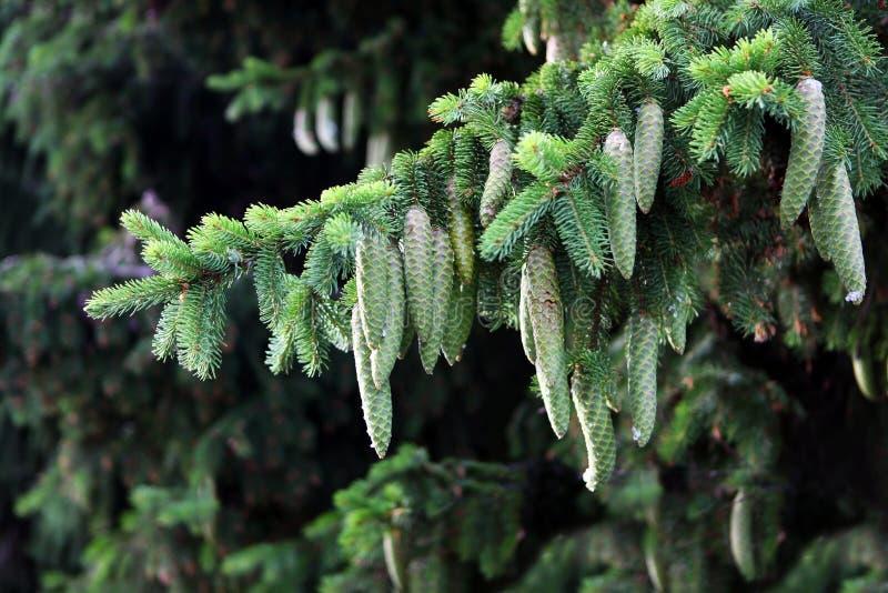在圣诞树分支的绿色杉木锥体 森林木材 免版税库存图片
