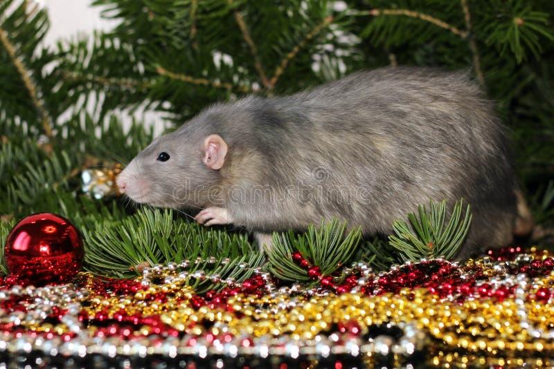 ??2020? 在圣诞树分支背景的灰色家养的鼠  新年的标志在中国日历的2020年 免版税库存图片