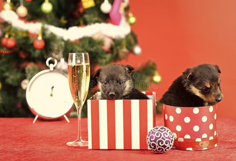 在圣诞树的圣诞老人小狗在当前箱子 库存图片