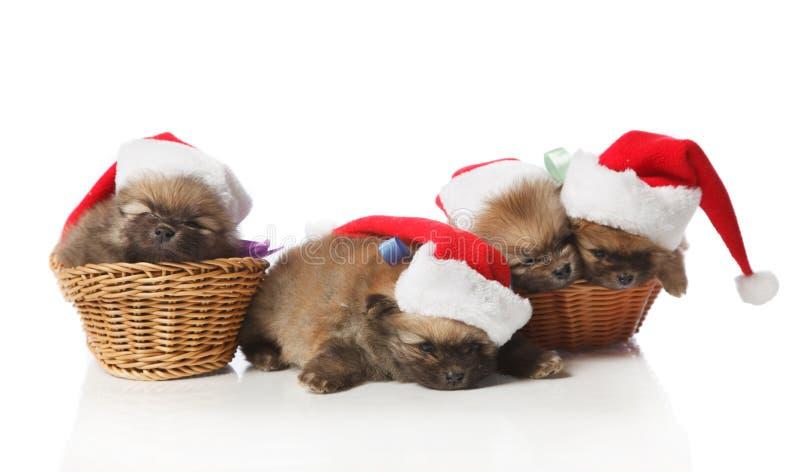 在圣诞老人帽子的四只Pomeranian波美丝毛狗小狗 免版税图库摄影