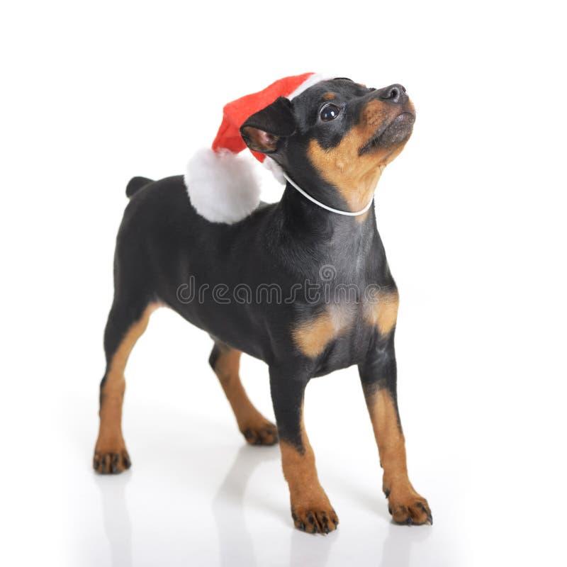在圣诞老人帽子的狗 库存图片