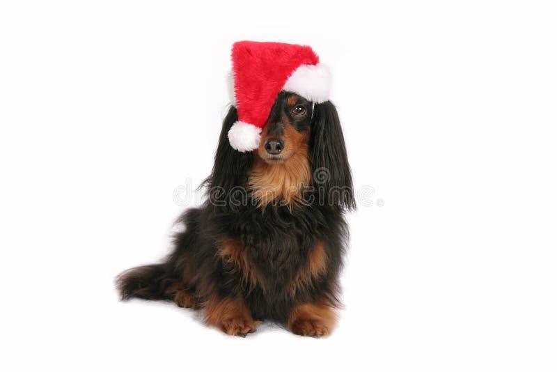 在圣诞老人帽子的逗人喜爱的达克斯猎犬 免版税库存照片