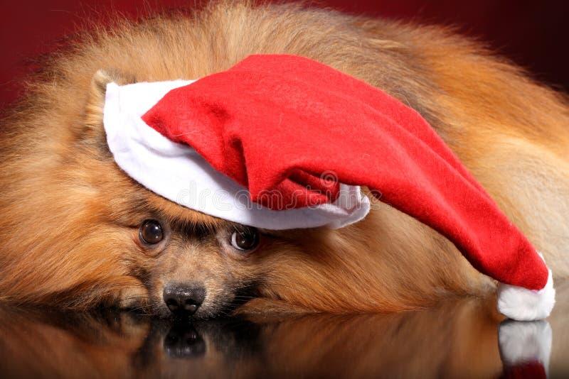在圣诞老人帽子的Pomeranian波美丝毛狗 库存图片