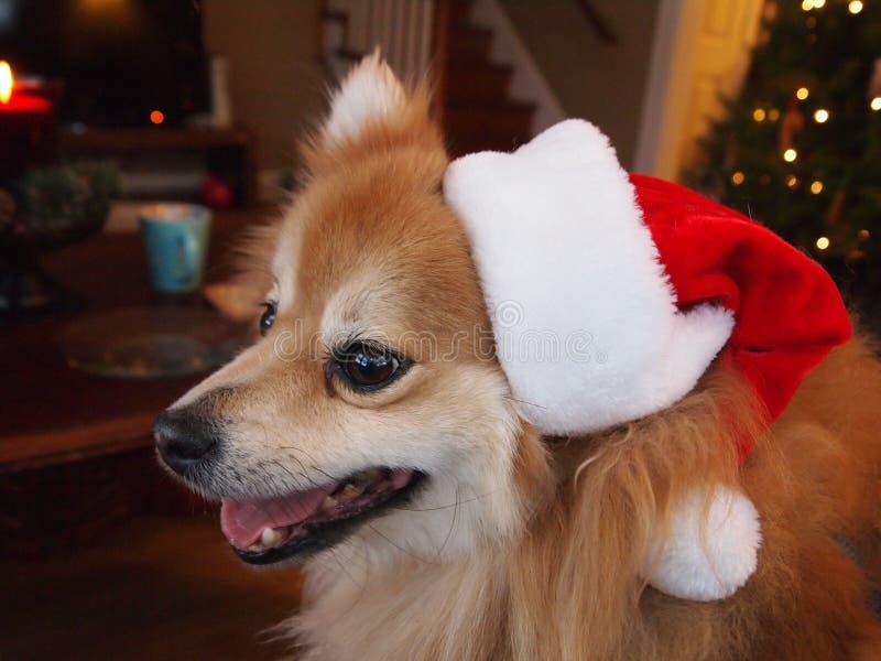 在圣诞老人帽子的Pomeranian 免版税图库摄影