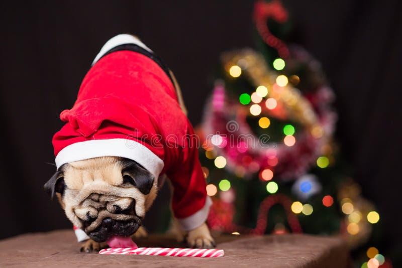 在圣诞老人服装的一个滑稽的圣诞节哈巴狗在圣诞树附近舔棒棒糖 库存图片