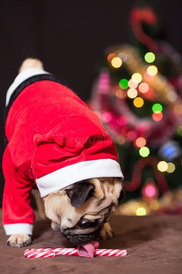 在圣诞老人服装的一个滑稽的圣诞节哈巴狗在圣诞树附近舔棒棒糖 免版税库存图片