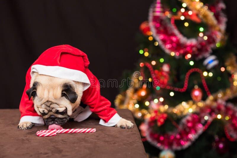 在圣诞老人服装的一个滑稽的圣诞节哈巴狗在圣诞树附近舔棒棒糖 免版税图库摄影