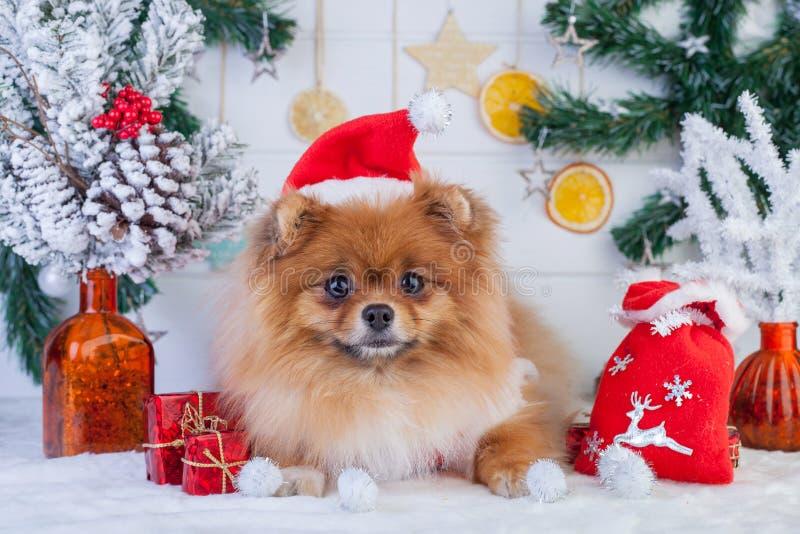 在圣诞老人衣物的Pomeranian在圣诞节装饰背景  免版税库存照片