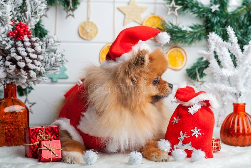 在圣诞老人衣物的Pomeranian在圣诞节装饰背景  免版税库存图片