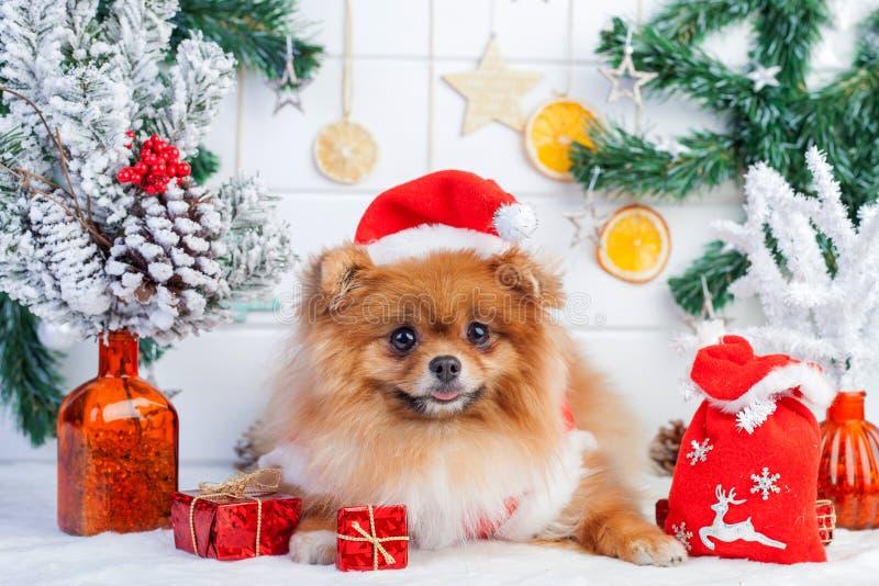 在圣诞老人衣物的Pomeranian在圣诞节装饰背景  免版税图库摄影
