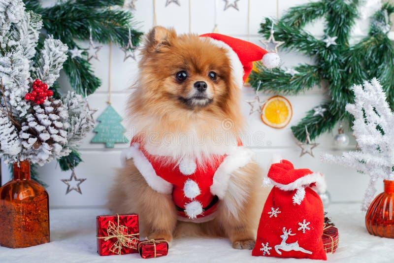 在圣诞老人衣物的Pomeranian在圣诞节装饰背景  库存照片
