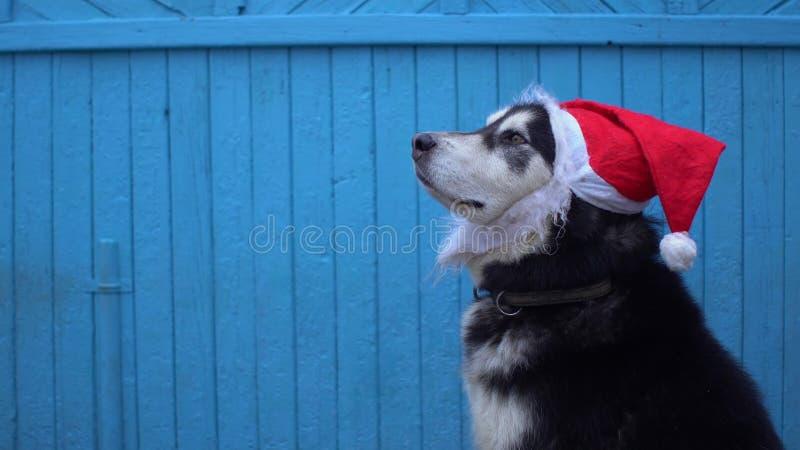 在圣诞老人` s帽子的阿拉斯加的爱斯基摩狗狗反对蓝色木房子墙壁背景在冬天 库存图片