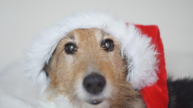 在圣诞节帽子的一条迷人的狗 免版税库存照片