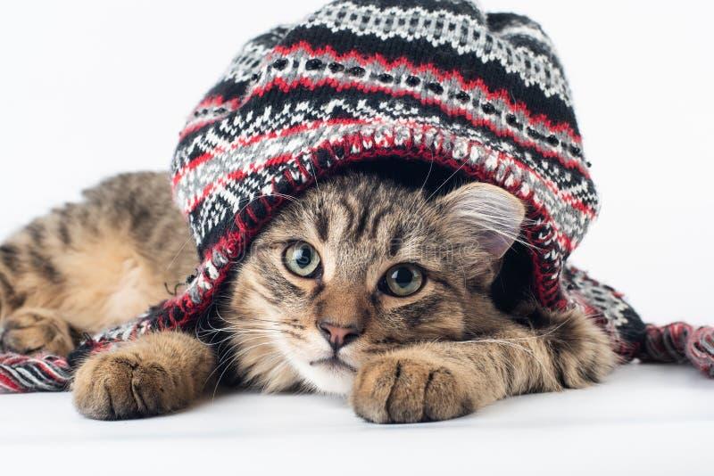 在圣诞节帽子的混杂的品种猫在白色背景 库存照片