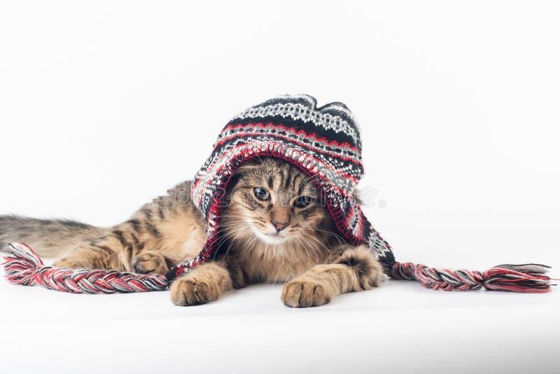 在圣诞节帽子的混杂的品种猫在白色背景 图库摄影